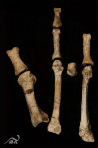 foot bones from excavation