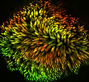 tadpole retina