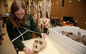 A student intern measures a skull while working at the Cleveland Museum of Natural History.