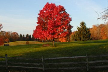 University farm landscape in fall with fence in foreground and bright red tree in center