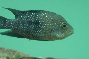 A photo of a Cuatro Ciénegas cichlid swimming in an aquarium.