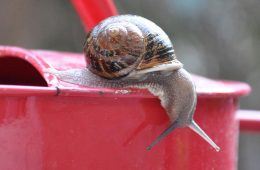 Snail on a red watering can