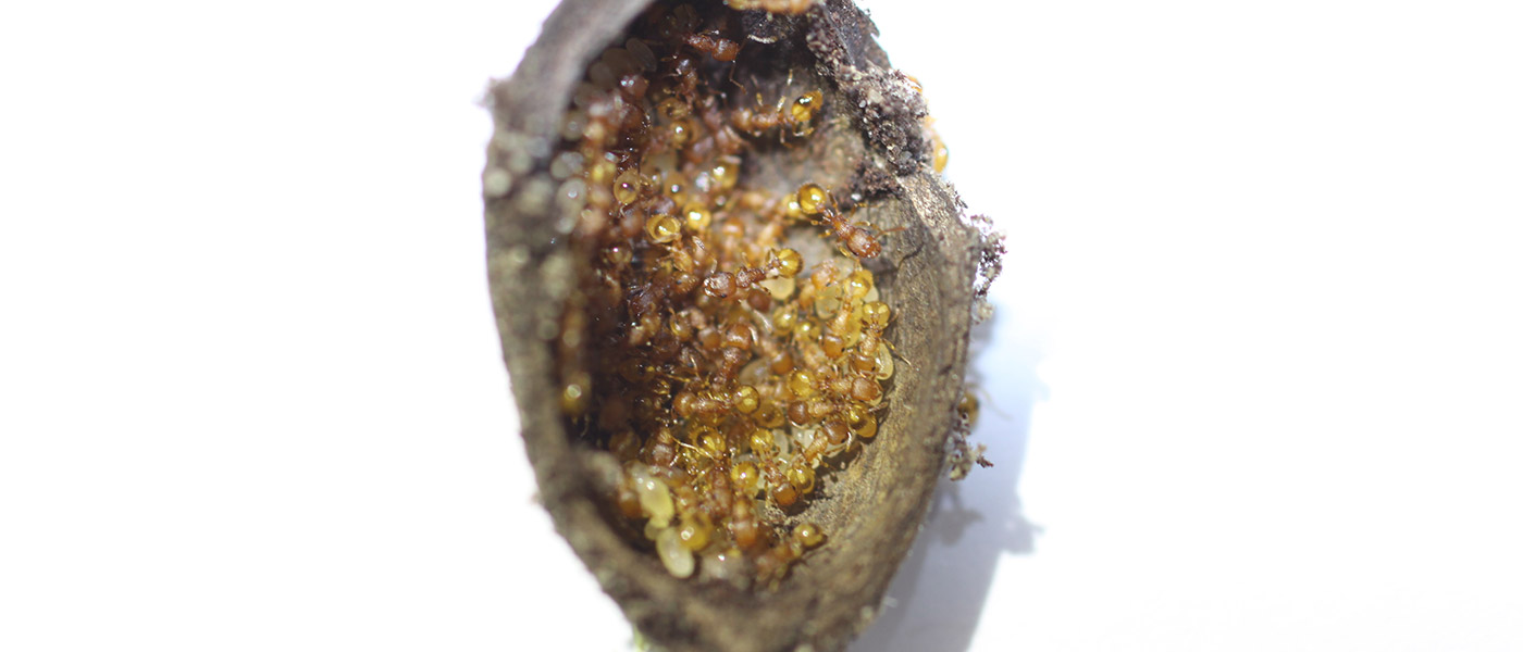 Photo of a section of acorn with nearly 100 tiny pale ants on the inside surface