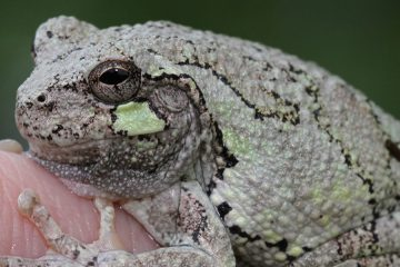 an adult gray tree frog