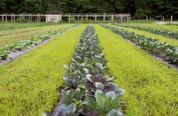 A row of crops in the Valley Ridge Farm garden