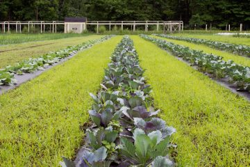 A row of crops in the Valley Ridge Farm garden