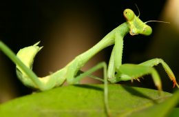 Photo of a praying mantis on a leaf
