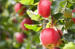 Ripe apples hanging on a tree