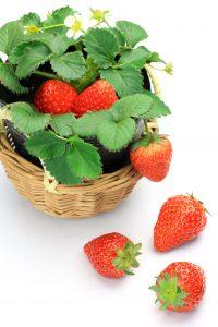 Strawberries growing in basket