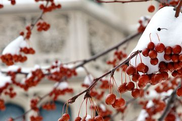 Red berries hanging from tree covered by snow