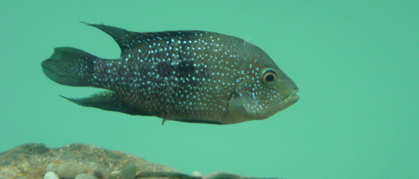 A photo of a Cuatro Ciénegas cichlid swimming in an aquarium.