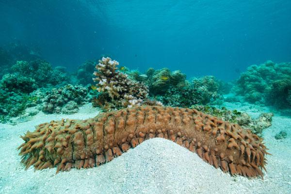 Photo of a sea cucumber