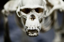 Photo showing the skeleton of an ape