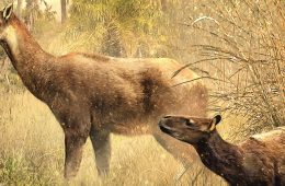 an artist's interpretation of two new species of extinct hoofed animals known as litopterns