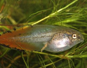 photo of a tadpole