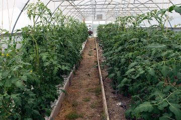 View down the walkway of one of the high tunnels, with plants growing on both sides