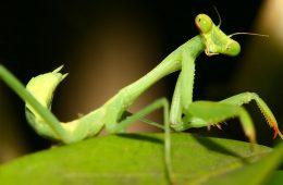 Photo of a praying mantis on a leaf