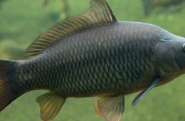 Photo of carp underwater