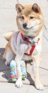 A dog named Bento wears a cast on its leg