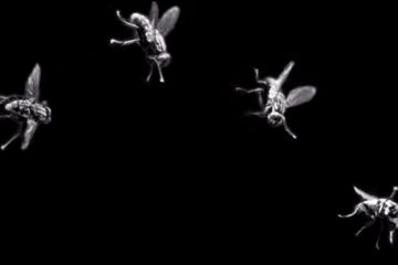 a time-lapse photo of a fly tumbling off kilter because its small wing-like halteres have been removed