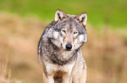 wolf standing in a field