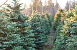 Row of evergreen trees
