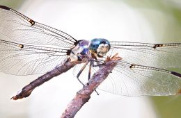 a blue dasher dragonfly resting on a branch