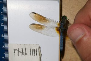a dragonfly being held by a researcher