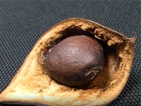 a closeup of the marama bean