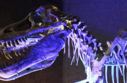 skeleton of dinosaur similar to T. Rex