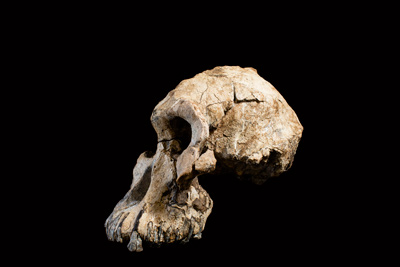 side view of early human cranium fossil