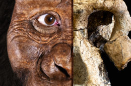 composite image of cranium fossil of early human ancestor and facial reconstruction