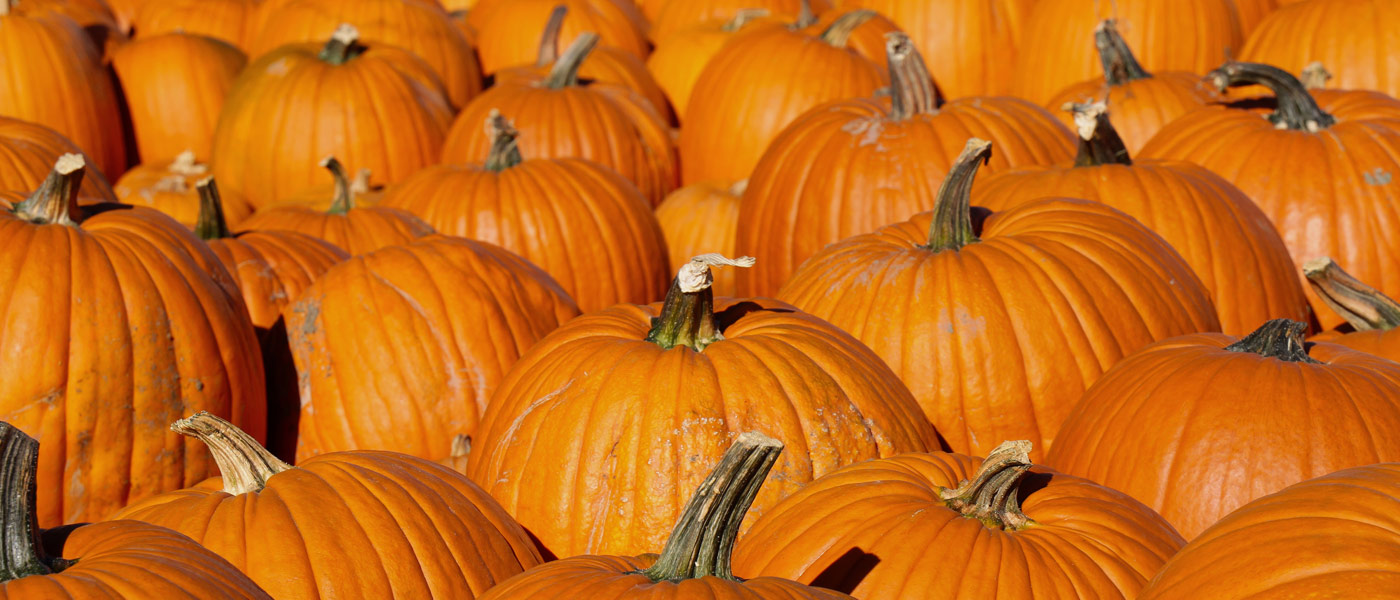 Photo of many pumpkins sitting next to each other