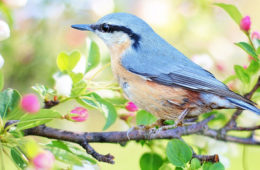 Photo of a bird sitting on a flowering branch