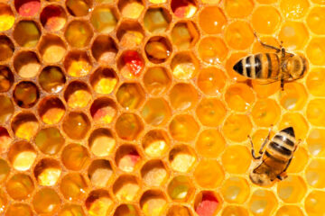 Photo of two bees on a hive