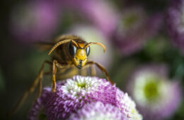 Close up photo of a large hornet on a flower