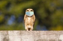 Photo of an owl wearing a mask